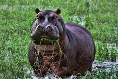 Angry hippopotamus in Africa. An annoyed hippopotamus eating grass in the Delta of Okavango, Botswana, Southern Africa Stock Photography