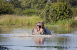 Angry hippopotamus, Kruger National Park. Stock Photos
