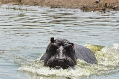 Angry Hippopotamus at Queen Elisabeth Nation Park, Uganda. This hippo started charging our boat as we invaded his space royalty free stock photo