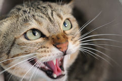 Angry hissing cat. Closeup of angry hissing cat showing his teeth stock image