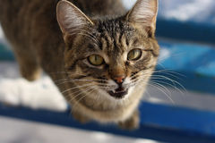 Angry hissing cat. The muzzle is a large striped cat close up. Cat shows fangs, hissing and angry stock photography