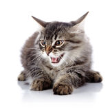 Angry hissing cat. Stock Photo
