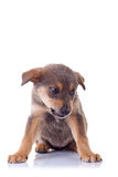 Angry homeless puppy. Picture of an angry homeless puppy, on a white background stock image
