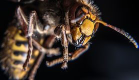 Angry hornet. It tried to attact me, but I attacted back with my camera Royalty Free Stock Photo