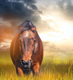 Angry horse with ears laid back in a field Royalty Free Stock Image