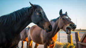Angry Horse. Two horses, one with his mouth open in protest. Angry horse at the water trough Stock Image