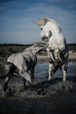 Angry Horses. Two white stallions reaing up and fighting each other in water Royalty Free Stock Photography