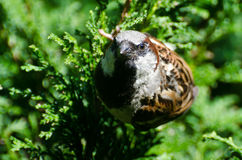 Angry House Sparrow Stock Image