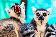 Angry and hungry lemurs Royalty Free Stock Images