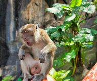 Monkey of batu caves royalty free stock photos