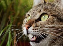 Angry hunting cat Royalty Free Stock Photo