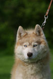 Angry Husky dog portrait. On green background Royalty Free Stock Images