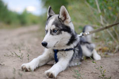 Angry Husky puppy. Tired of waiting for the host Royalty Free Stock Photos