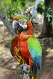 Angry Hybrid Macaw Close-Up. In the rainforest Stock Image