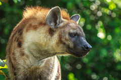 Angry Hyena Stock Photography
