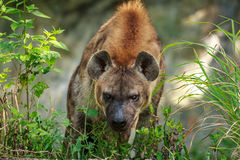 Angry Hyena Royalty Free Stock Photos
