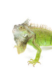 Angry  iguana with big beard Stock Images