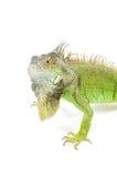Angry iguana with big beard. Angry iguana isolated on a white background stock images