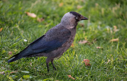 Angry jackdaw bird on green grass Royalty Free Stock Image