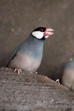 Angry Java Sparrow Stock Photo
