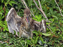 Angry Juvenile Black-crowned Night Heron Royalty Free Stock Photo