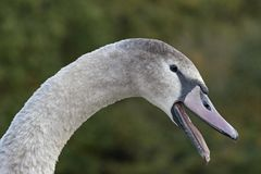 An angry juvenile swan. At Southampton Common, Hampshire, UK Stock Photo
