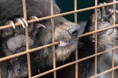 Angry Kamchatka brown bear gnaws an aviary lattice in a zoo Stock Photos