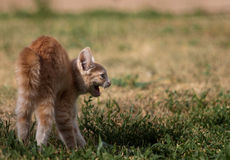 Angry kitten Stock Image
