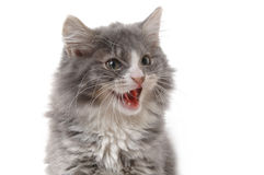 Angry kitten. Close-up Royalty Free Stock Image