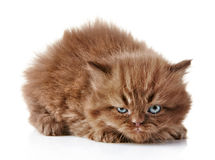 Angry kitten Royalty Free Stock Photos