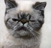 Angry kitten. Stock Images