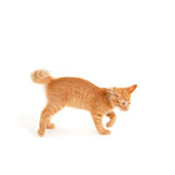 Angry kitten isolated on white background Royalty Free Stock Photo
