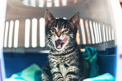 Angry Kitten with Open Mouth Inside Carriage Box Royalty Free Stock Photos