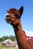 Angry Lama Stock Image