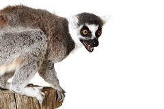 Angry Lemur. Ringtailed Lemur with an angry expression on his face Royalty Free Stock Images