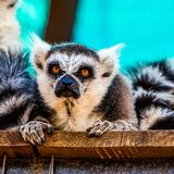 Angry lemur closeup Royalty Free Stock Photo