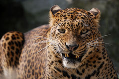 Angry leopard. Close-up of an angry leopard Royalty Free Stock Photo