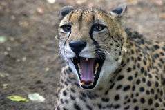 Angry leopard Stock Photography