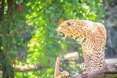 Angry leopard (Panthera pardus) is roaring on the scaffold on th Royalty Free Stock Images