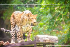 Angry leopard (Panthera pardus) is roaring on the scaffold on th Stock Images