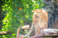 Angry leopard (Panthera pardus) is roaring on the scaffold on th Stock Photos