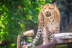 Angry leopard (Panthera pardus) is roaring on the scaffold on th Stock Image