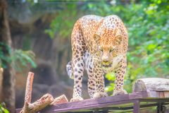 Angry leopard (Panthera pardus) is roaring on the scaffold on th Royalty Free Stock Photography