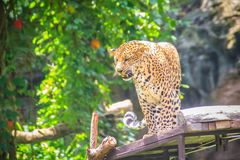 Angry leopard (Panthera pardus) is roaring on the scaffold on th Stock Photo
