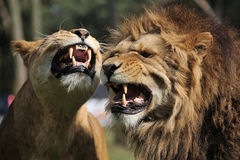 Angry lion Royalty Free Stock Photography