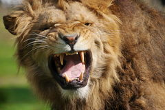 Angry lion. Close-up of a big angry African male lion Royalty Free Stock Photos