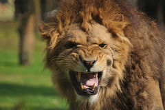 Angry lion Royalty Free Stock Images