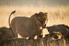 Angry lion. Eating, Etosha, Namibia Royalty Free Stock Photo