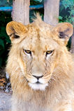 Angry lion. In the cage Royalty Free Stock Image