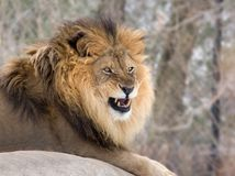 Angry Lion. An angry, growling male lion royalty free stock photos